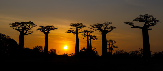 Foto op Plexiglas Baobab Silhouette at sunset of Baobab giants and the Alley of the Baobabs, Morondava, Madagascar