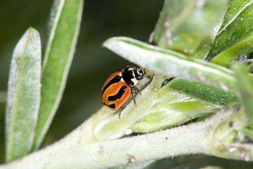 macro image of ladybug