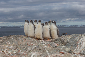 Polar gentoo penguins grouped, Antarctica. Chick group on the stone