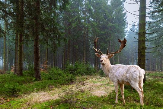 Wunderschöner weißer Hirsch (Albino) steht in einem märchenhaften Nadelwald