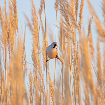 Male Bearded Reedling (Panurus biarmicus) in a typical ecosystem. Beautiful nature scene with Bearded Parrotbill Panurus biarmicus. Wildlife shot of Bearded Parrotbill Panurus biarmicus on the grass.