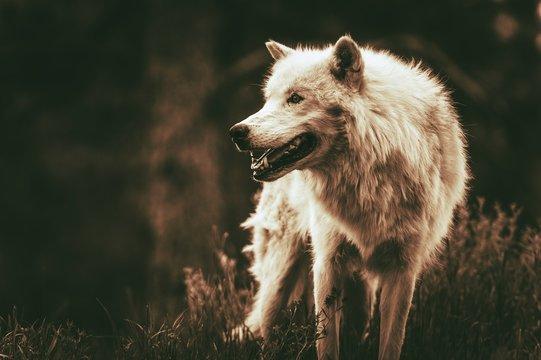 Wolf Looking Away On Field
