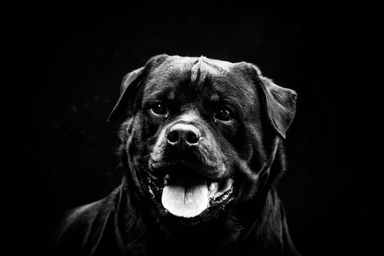 Close-Up Portrait Of Rottweiler