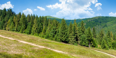 forested carpathian mountains in summer. fir trees on the grassy slope. sunny weather with clouds on the sky. foo path uphill. hiking concept background