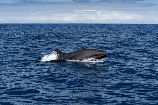 False Orca Whale Breaching