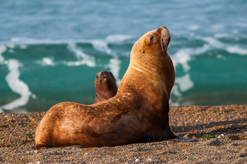 Sea Lions On Sand At Beach