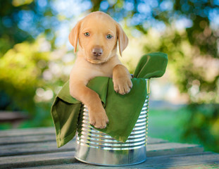 Cute yellow labrador puppy in Number 10 can on picnic table with green fabric