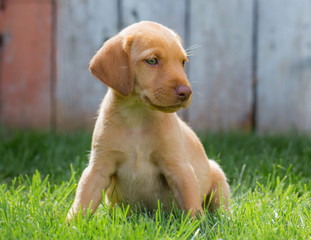 Yellow lab puppy sits in the grass in front of a fence on warm sunny day