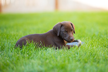 Brown labrador vizsla mix puppy laying in grass with sandal as chew toy