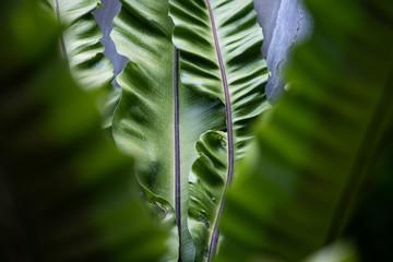 Close-Up Of Banana Leaves