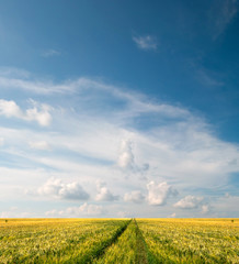 Wall Mural - Scenic view of grain field and bright blue sky with cumulus and cirrus. Rural summer landscape. Beauty nature, agriculture and seasonal harvest time. Panoramic banner.