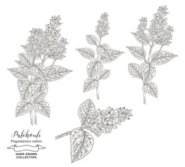 Patchouli plant branches with leaves and flowers isolated on white background. Medical herbs hand drawn. Vector illustration. Detailed sketch style.