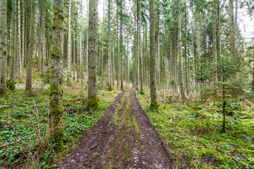 Path through trees in Black Forest
