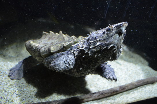 Close-Up Of Alligator Snapping Turtle In Tank At Aquarium