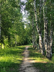 Path in a birch grove, the vicinity of the city of Plyos, Russia.