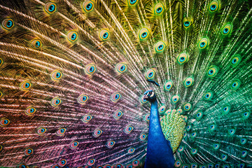 Peacock Bird with Colorful Feathers Spread