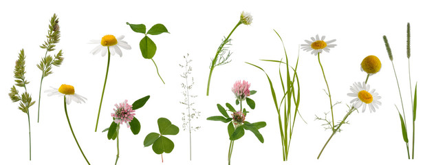 Stems of various meadow grass, clover and camomile flowers on white background