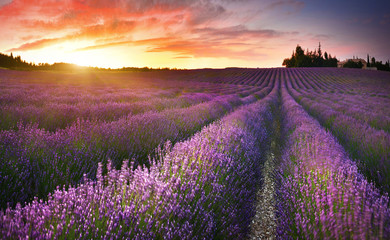 Photo sur Aluminium Lavande View of lavender field at sunrise in Provence, France