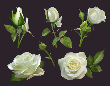 Realistic roses bouquet. White rose flowers with leaves, floral roses bouquets, gardening pastel colors blossom bunch vector illustration set. close up natural botanic elements for wedding card