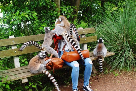 Ring-Tailed Lemurs On Person Sitting Over Bench