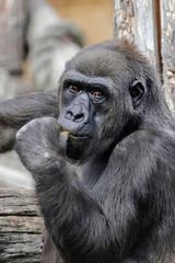 Female western lowland gorilla (Gorilla gorilla gorilla), head portrait