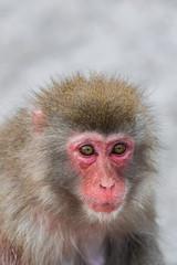 Japanese Macaque, (Macaca Fuscata), head portrait