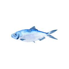 watercolor drawing fish,sardinella