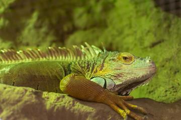 Green iguana, (iguana iguana), head portrait