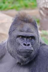 adult male of Western Lowland Gorilla, (gorilla gorilla gorilla) face portrait