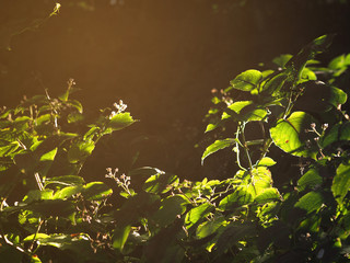 Wall Mural - Light and shadow on green leaves in the forest at sunrise.