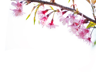 Wall Mural - Pink cherry blossoms flower in full bloom over white color.