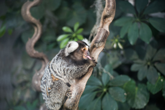 Common Marmoset Monkey On Tree Trunk With Tongue Out Against Plants