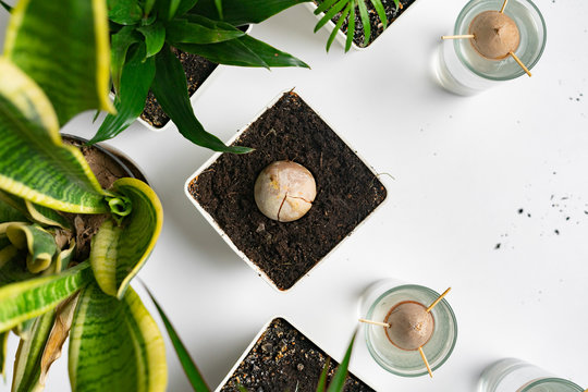 home botany composition, some simple pots with plants and the avocado seed growing on the table