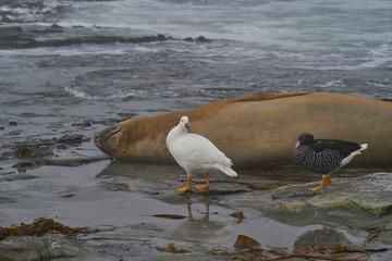 Pair of Kelp Geese (Chloephaga hybrida malvinarum) walk past a resting Southern Elephant Seal on the coast of Sea Lion Island in the Falkland Islands.