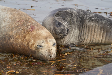 Female Southern Elephant Seal (Mirounga leonina) with her pup lying on a beach on Sea Lion Island in the Falkland Islands.