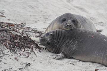 Southern Elephant Seal pups (Mirounga leonina) on the coast of Sea Lion Island in the Falkland Islands.
