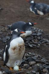 Gentoo Penguins (Pygoscelis papua) nesting on Sea Lion Island in the Falkland Islands.