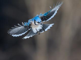 Blue Jay Landing in Winter Fotomurales