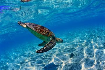 沖縄のビーチで泳ぐウミガメ