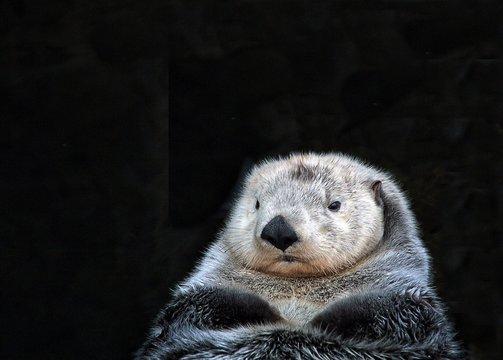 Close-Up Of Sea Otter At Night