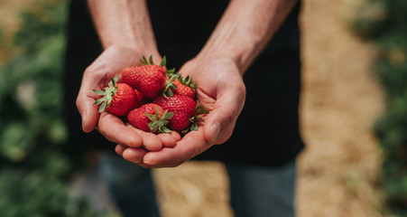 Crop farmer showing ripe strawberries after first harvest