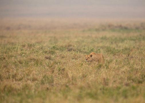 A lioness stalking at Masai Mara, Kenya
