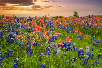 Texas bluebonnets and Indian Paintbrush wildflower field blooming in the spring at sunset