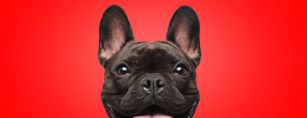 Autocollant pour porte Bouledogue français french bulldog dog full of joy looking at camera
