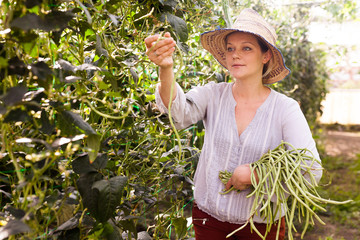 Young woman in hat picking  harvest of  chinese vigna  in  sunny garden