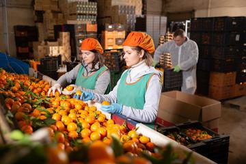 Group of workers sorting ripe mandarins