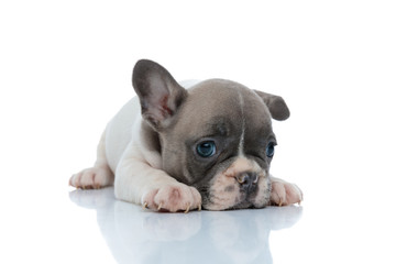 Dutiful French bulldog puppy resting and looking away