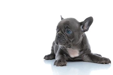 Fotorolgordijn Franse bulldog Cute French bulldog cub looking away and resting