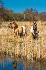 Wild Konik ponies on the banks of Burwell Lode