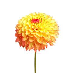 Poster de jardin Dahlia Beautiful yellow dahlia flower on white background